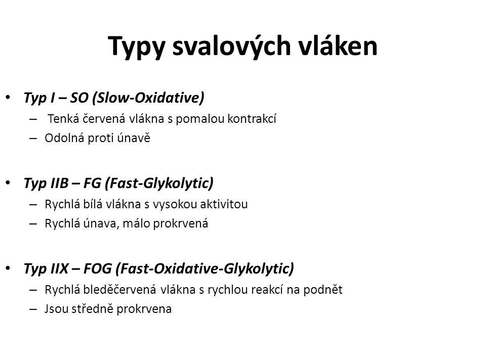 Typy svalových vláken Typ I – SO (Slow-Oxidative)