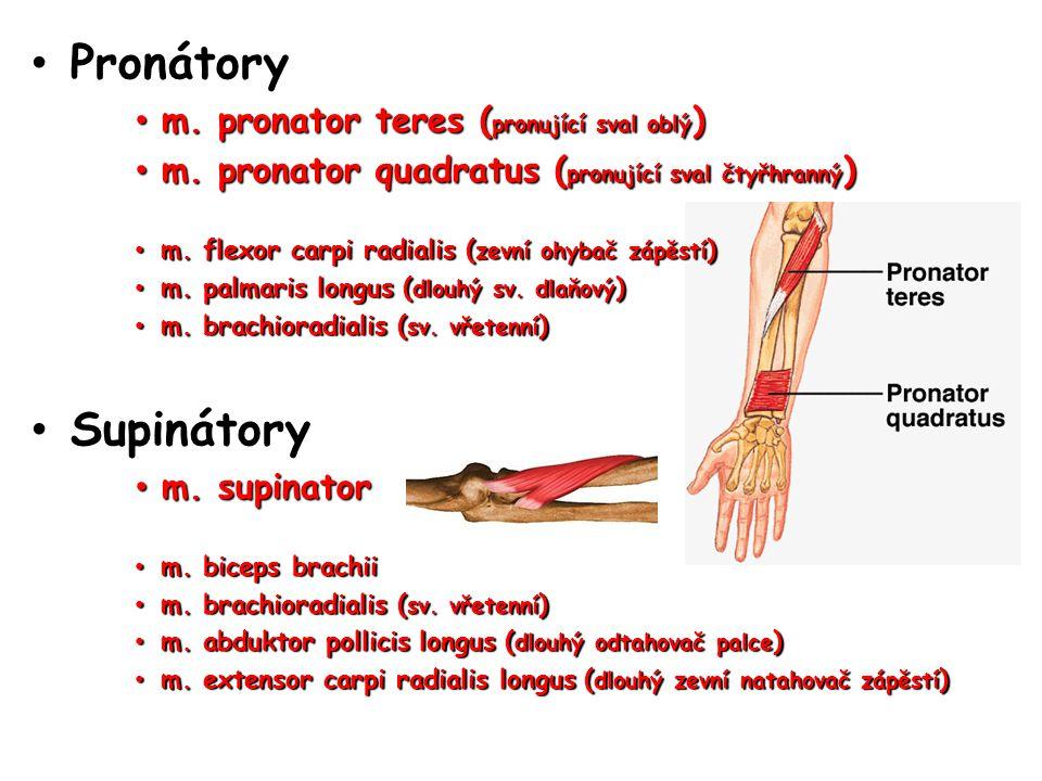 Pronátory Supinátory m. pronator teres (pronující sval oblý)