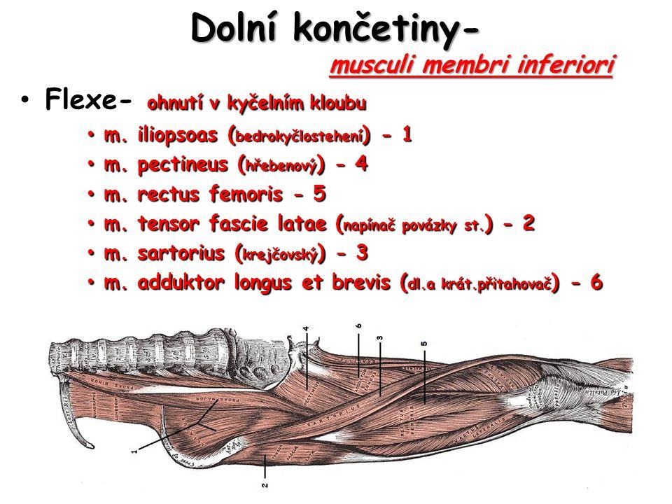 Dolní končetiny- musculi membri inferiori