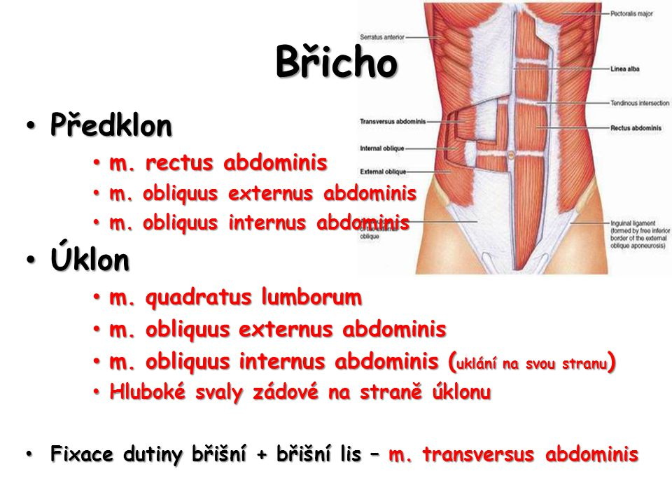Břicho Předklon Úklon m. rectus abdominis m. quadratus lumborum