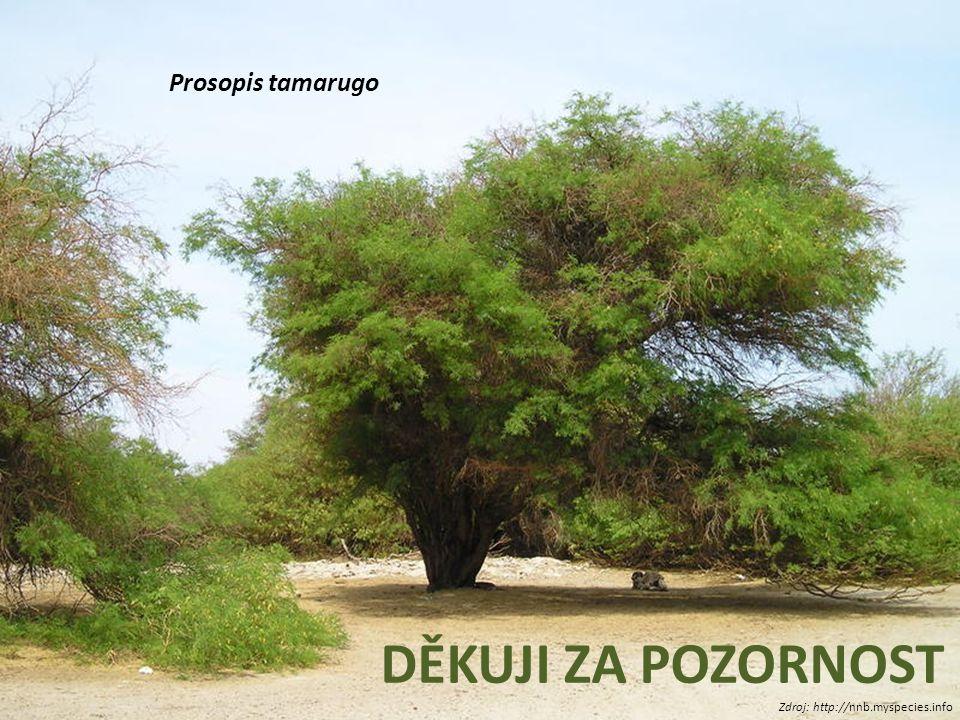 Prosopis tamarugo DĚKUJI ZA POZORNOST Zdroj: http://nnb.myspecies.info
