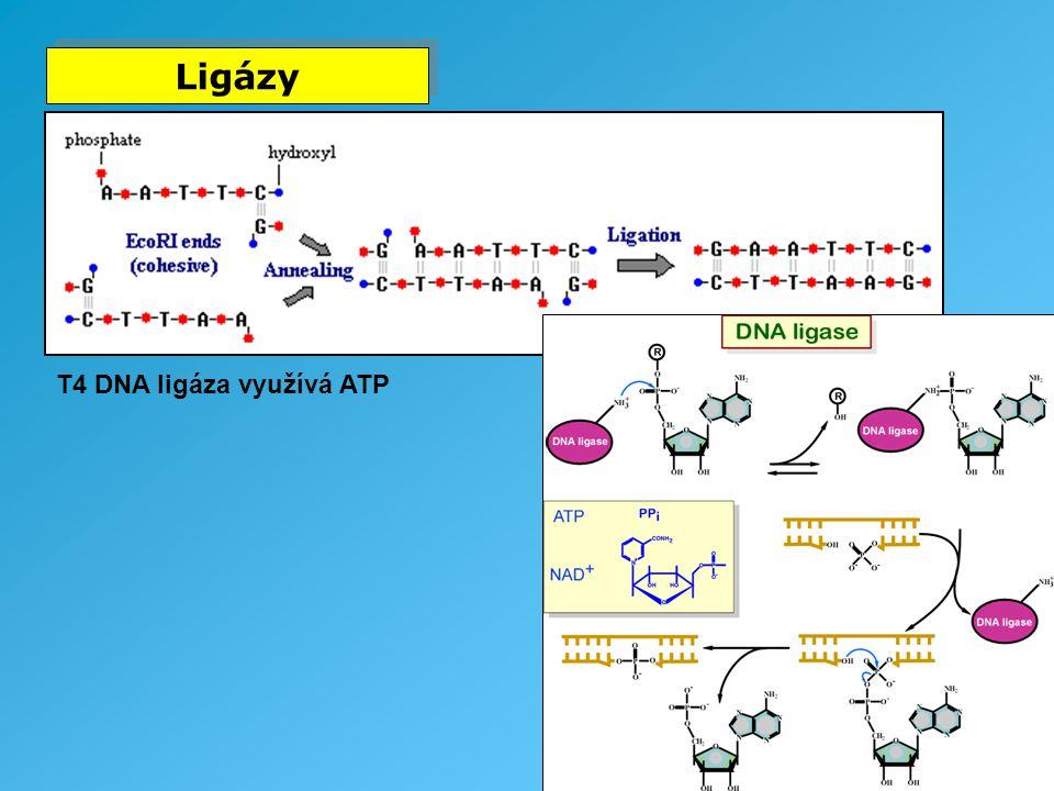 Ligázy T4 DNA ligáza využívá ATP