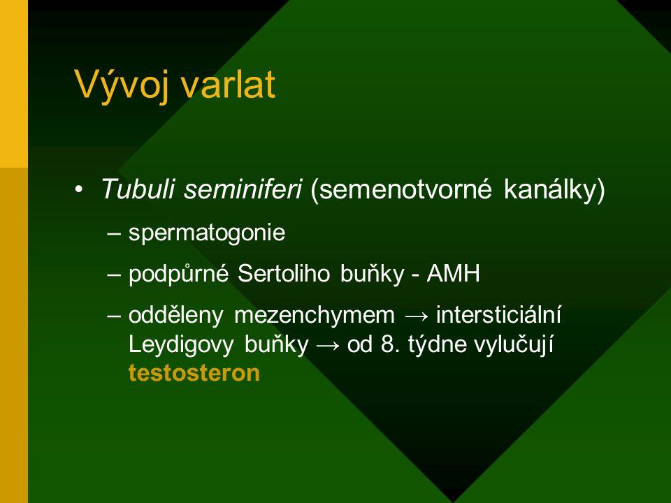 Vývoj varlat Tubuli seminiferi (semenotvorné kanálky) spermatogonie