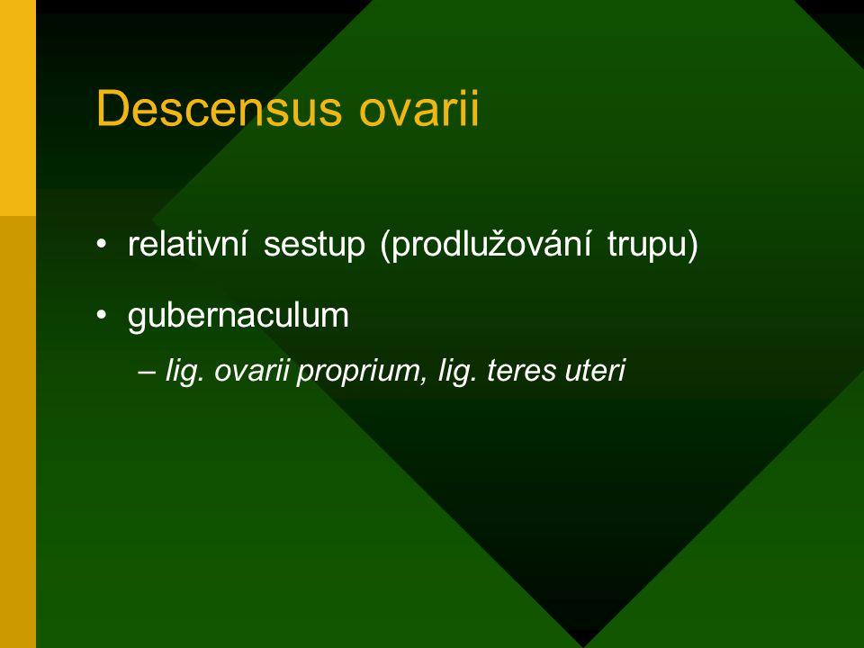 Descensus ovarii relativní sestup (prodlužování trupu) gubernaculum