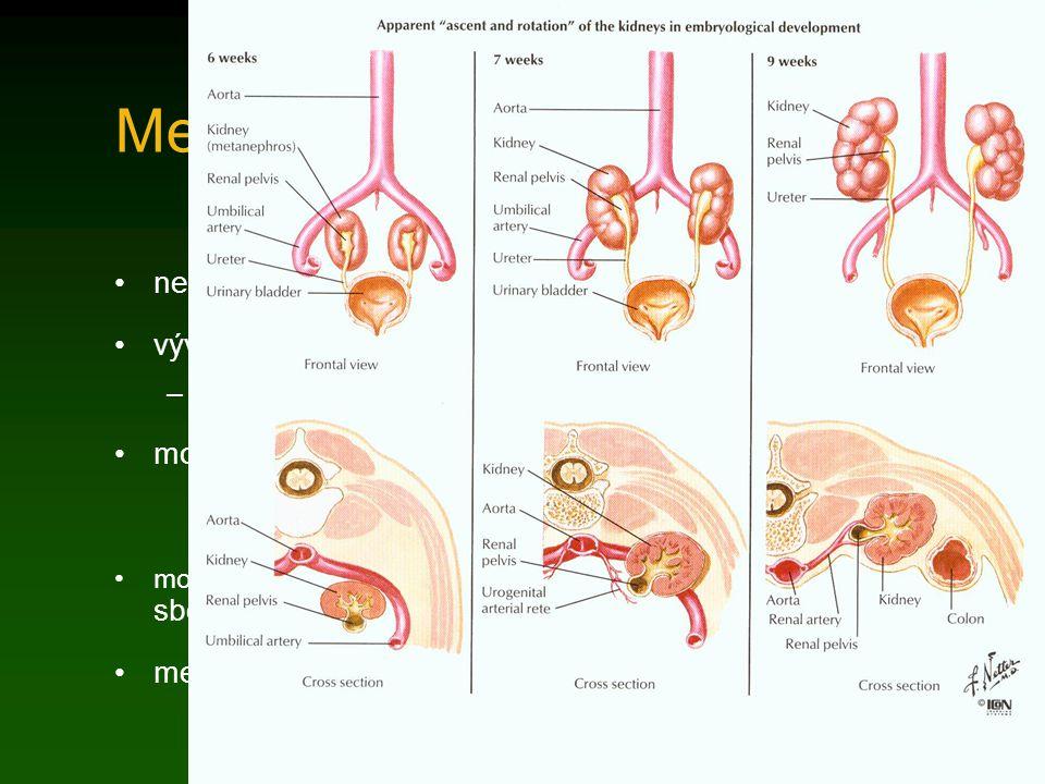 Metanefros nefrogenní blastém 3.-5. bederní prvosegment