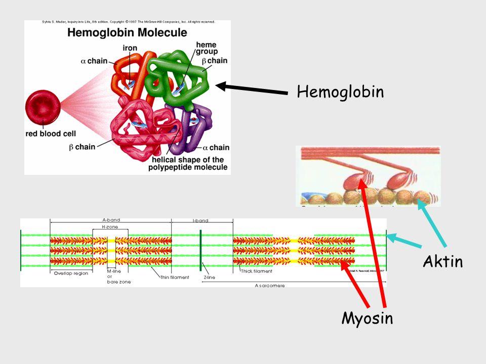Hemoglobin Aktin Myosin