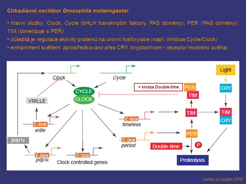 Cirkadiánní oscilátor Drosophila melanogaster