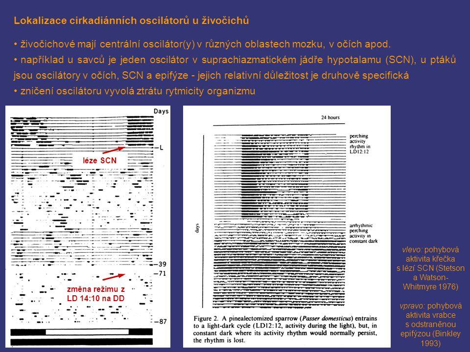 Lokalizace cirkadiánních oscilátorů u živočichů