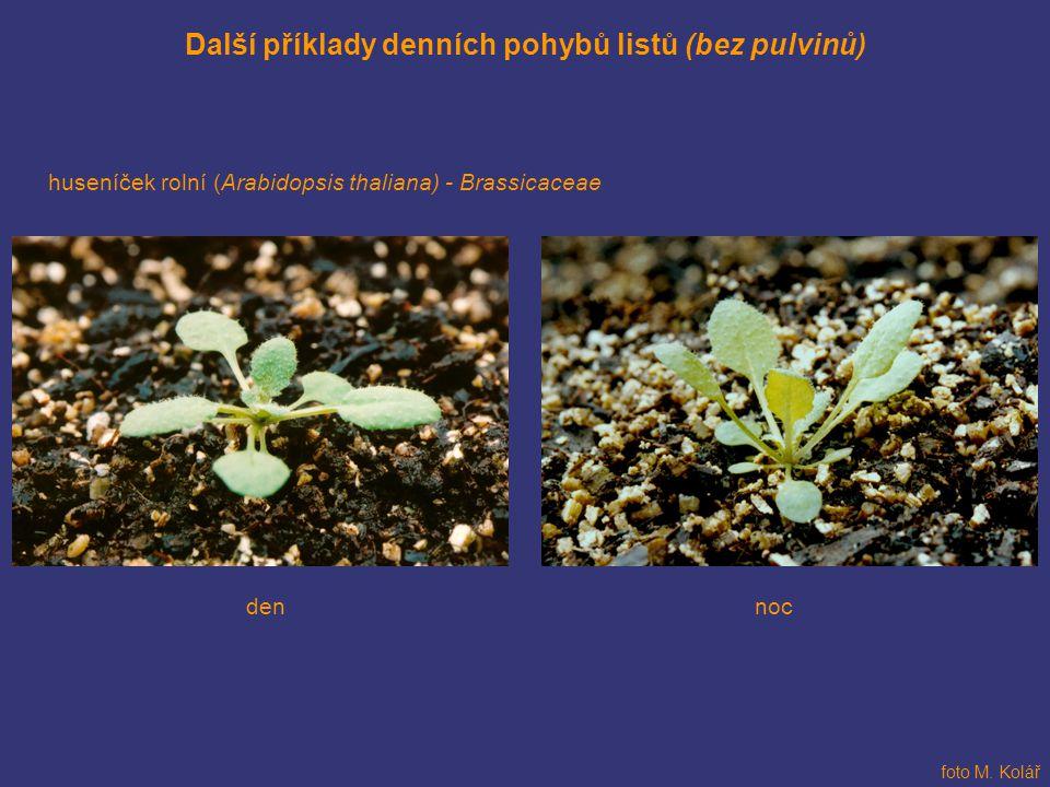 Další příklady denních pohybů listů (bez pulvinů)