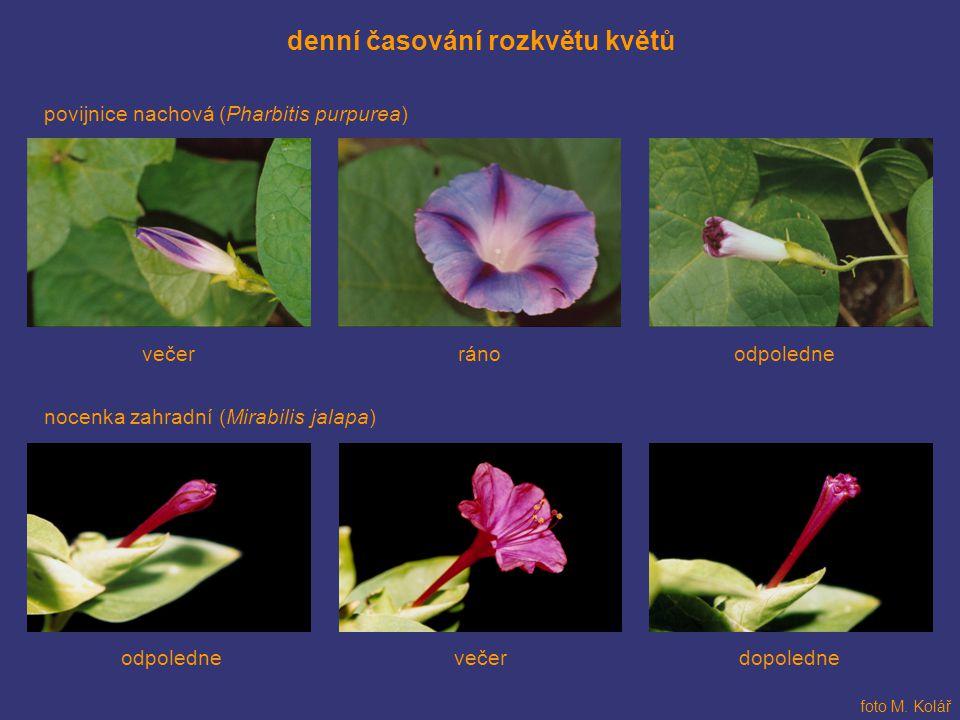 denní časování rozkvětu květů
