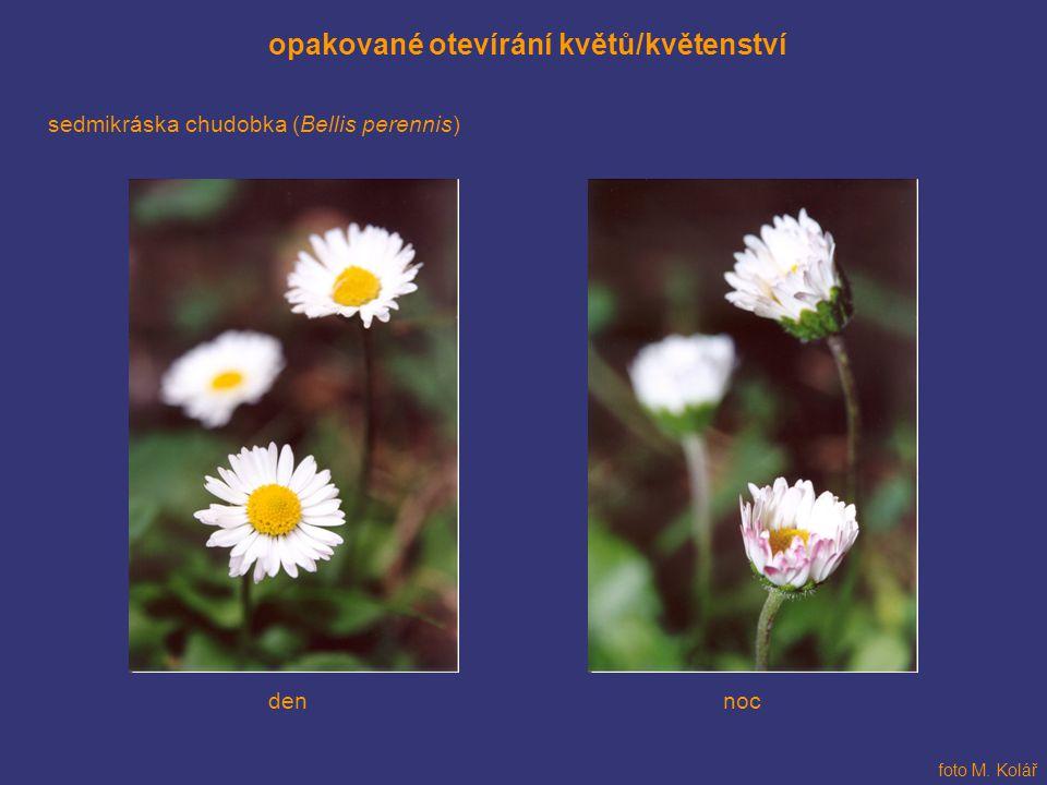 opakované otevírání květů/květenství