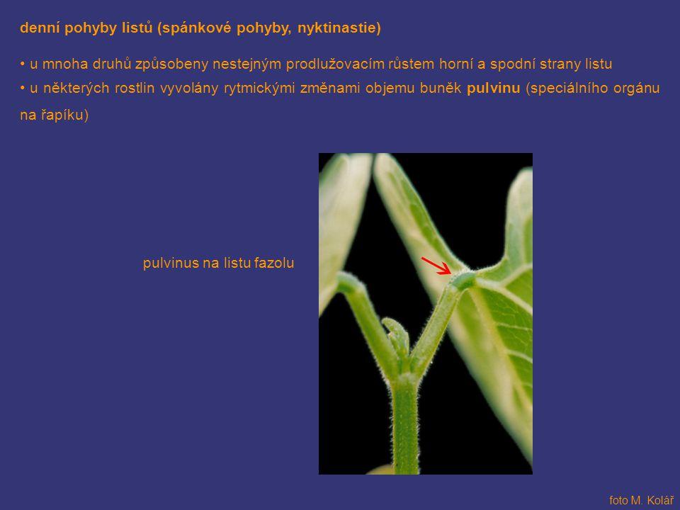denní pohyby listů (spánkové pohyby, nyktinastie)
