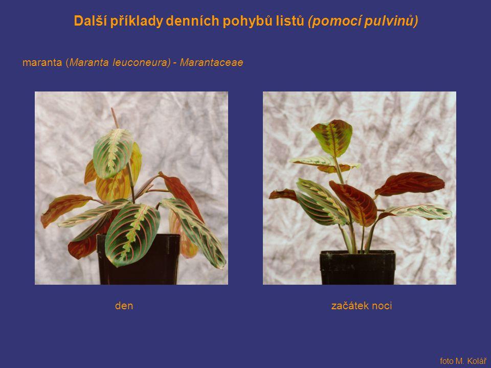 Další příklady denních pohybů listů (pomocí pulvinů)