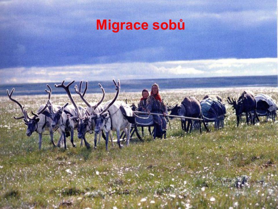 Migrace sobů
