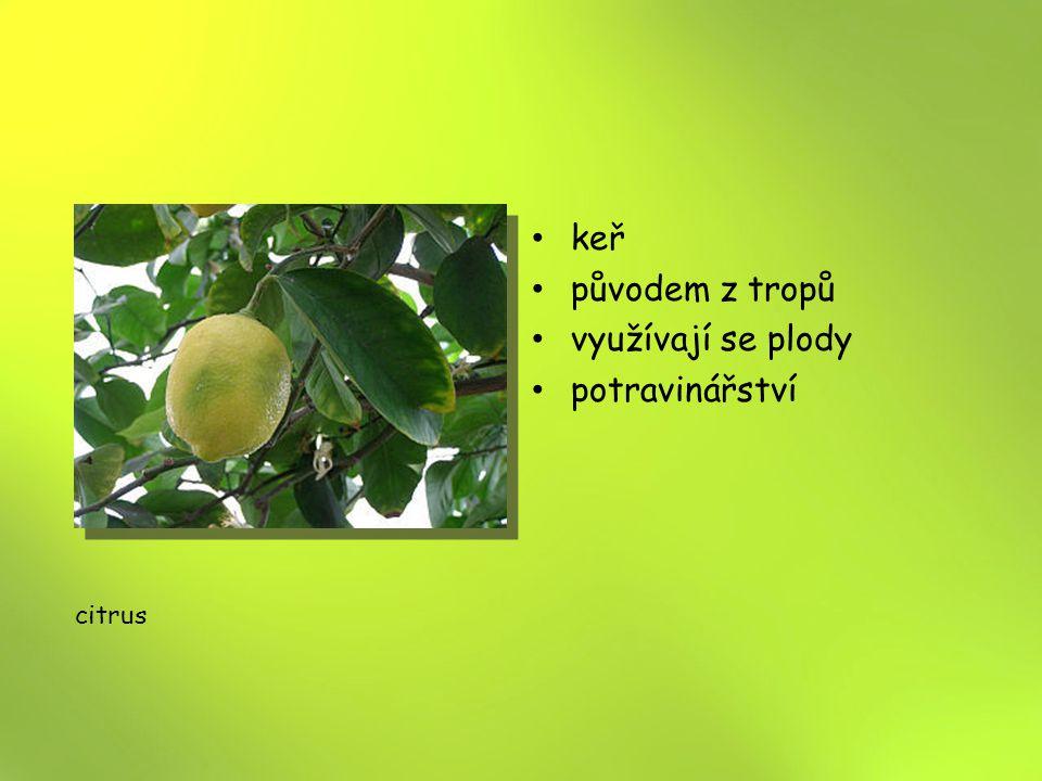 keř původem z tropů využívají se plody potravinářství citrus 12