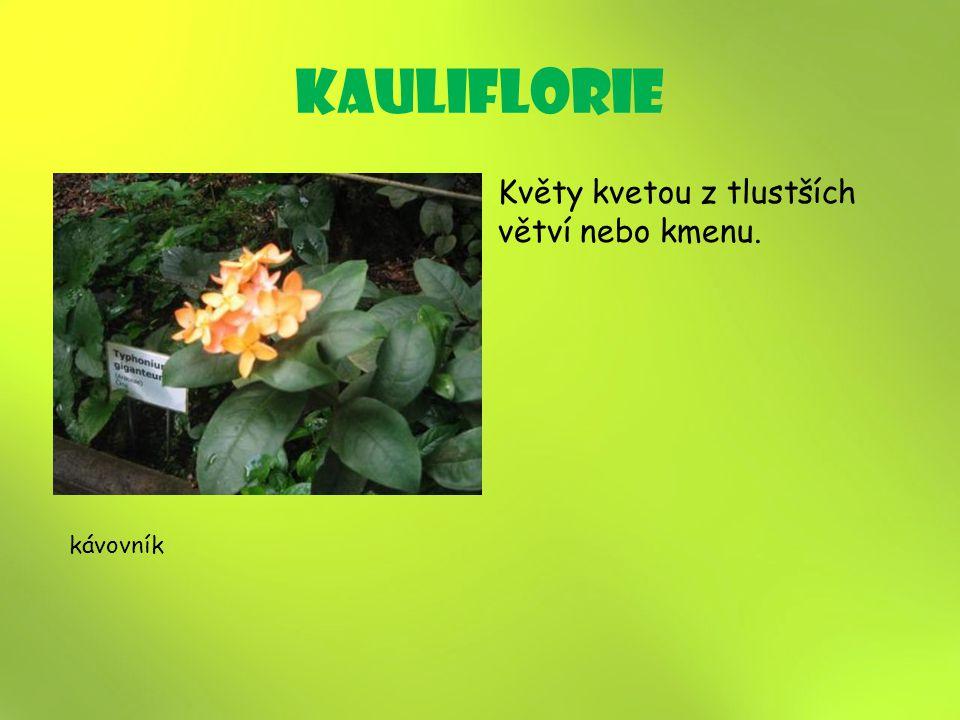 kauliflorie Květy kvetou z tlustších větví nebo kmenu. kávovník 15