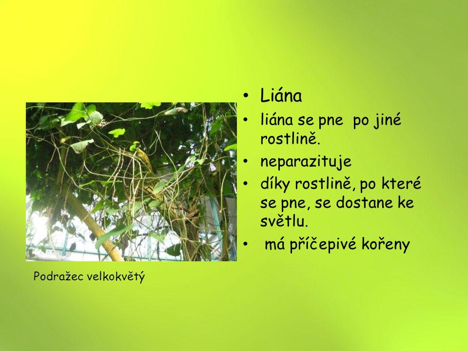 Liána liána se pne po jiné rostlině. neparazituje