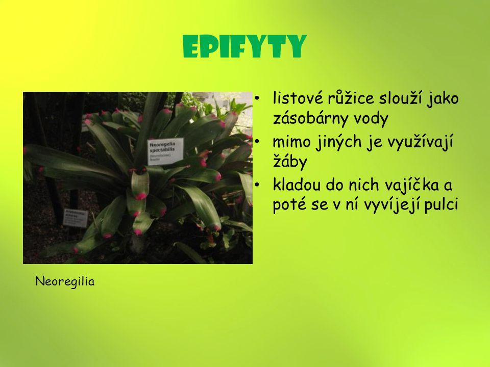 epifyty listové růžice slouží jako zásobárny vody