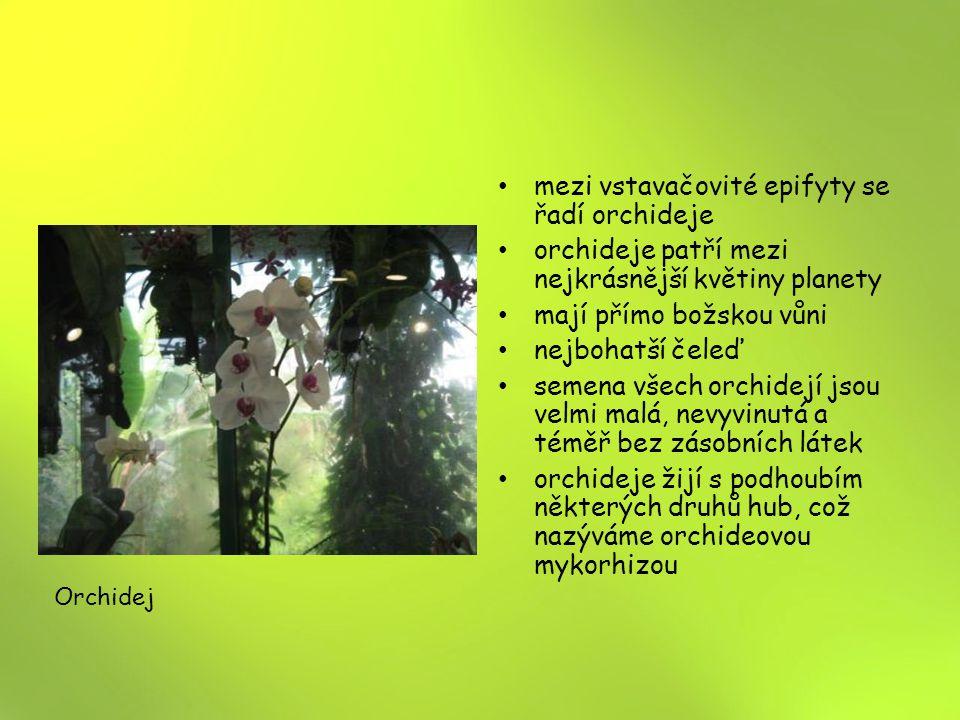 mezi vstavačovité epifyty se řadí orchideje