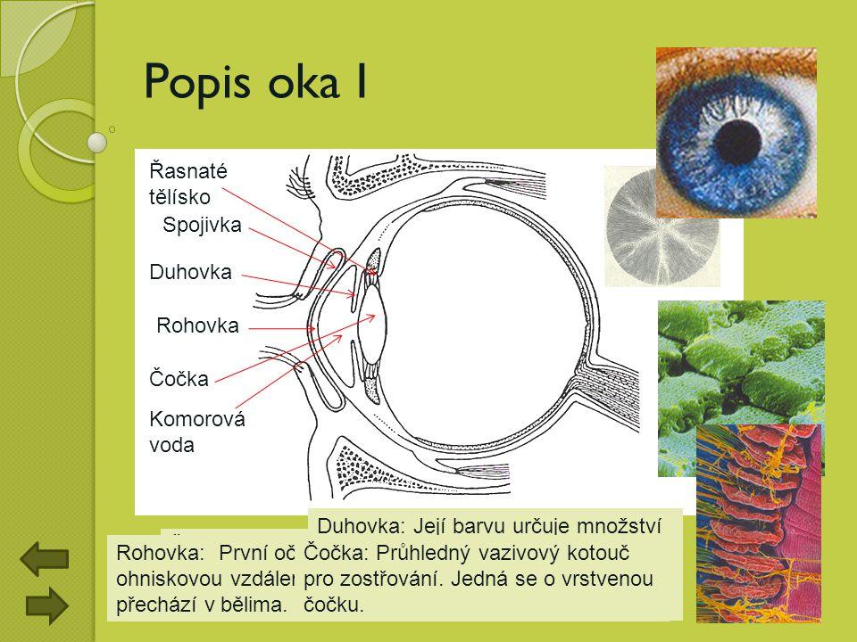 Popis oka I Řasnaté tělísko Spojivka Duhovka Rohovka Čočka