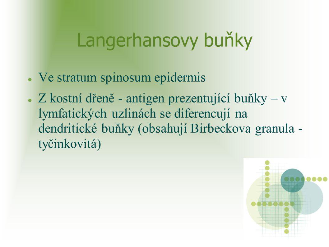 Langerhansovy buňky Ve stratum spinosum epidermis