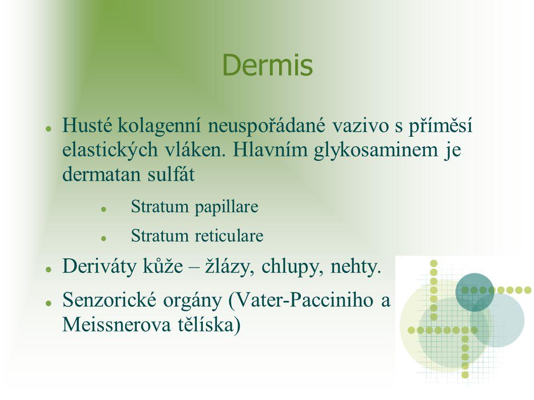 Dermis Husté kolagenní neuspořádané vazivo s příměsí elastických vláken. Hlavním glykosaminem je dermatan sulfát.