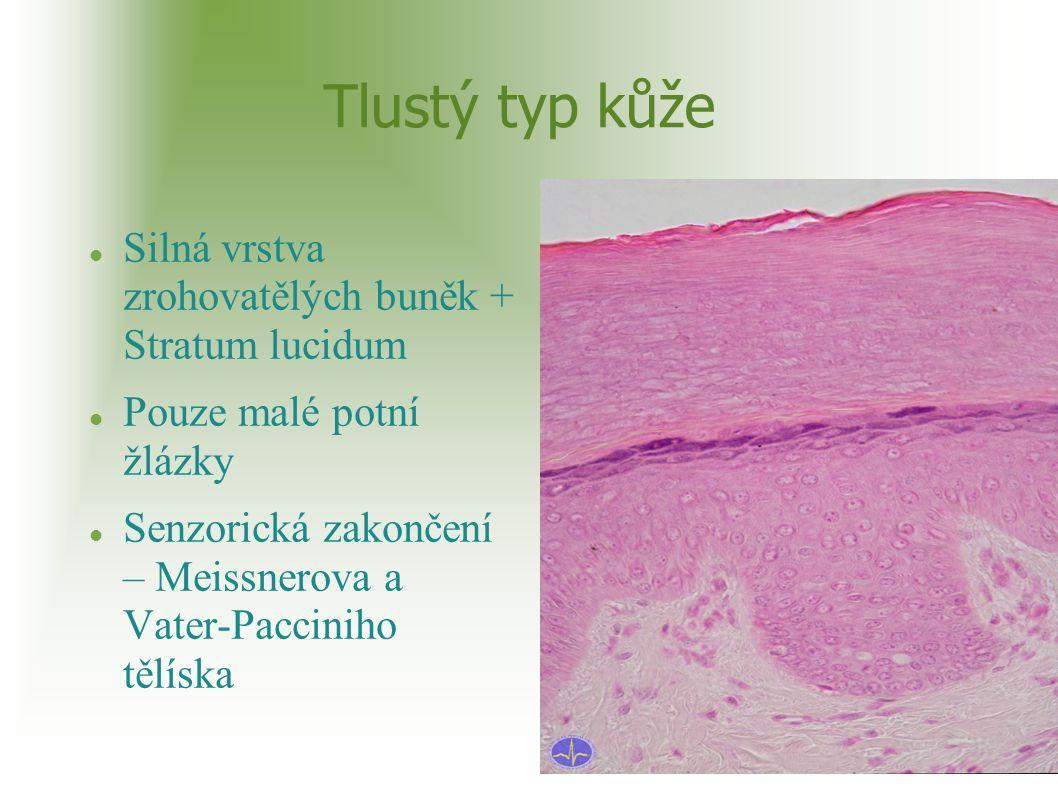 Tlustý typ kůže Silná vrstva zrohovatělých buněk + Stratum lucidum