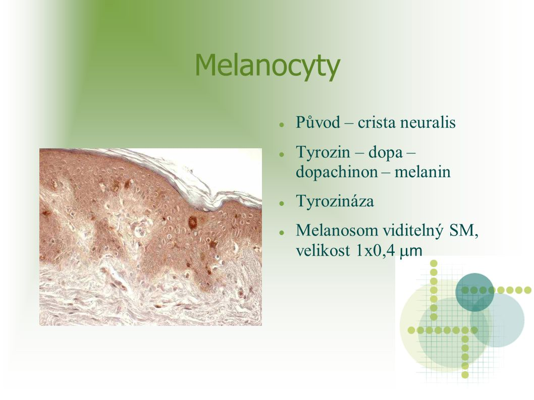Melanocyty Původ – crista neuralis