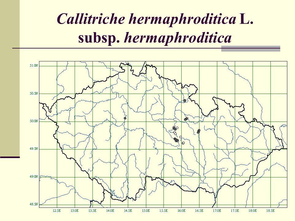 Callitriche hermaphroditica L. subsp. hermaphroditica