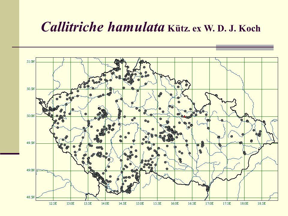 Callitriche hamulata Kütz. ex W. D. J. Koch