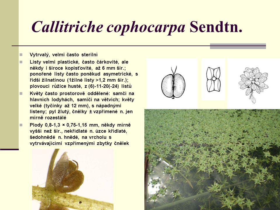 Callitriche cophocarpa Sendtn.