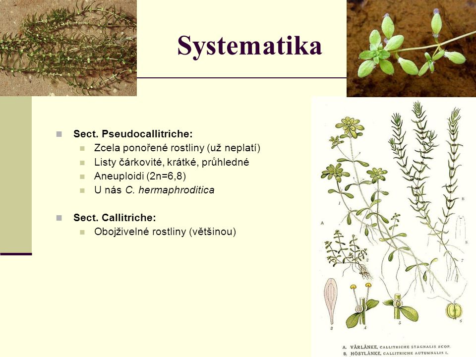 Systematika Sect. Pseudocallitriche: