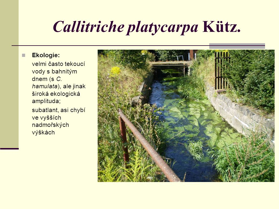 Callitriche platycarpa Kütz.