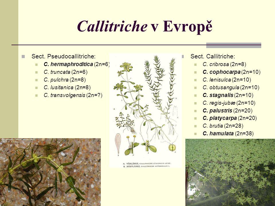 Callitriche v Evropě Sect. Pseudocallitriche: Sect. Callitriche: