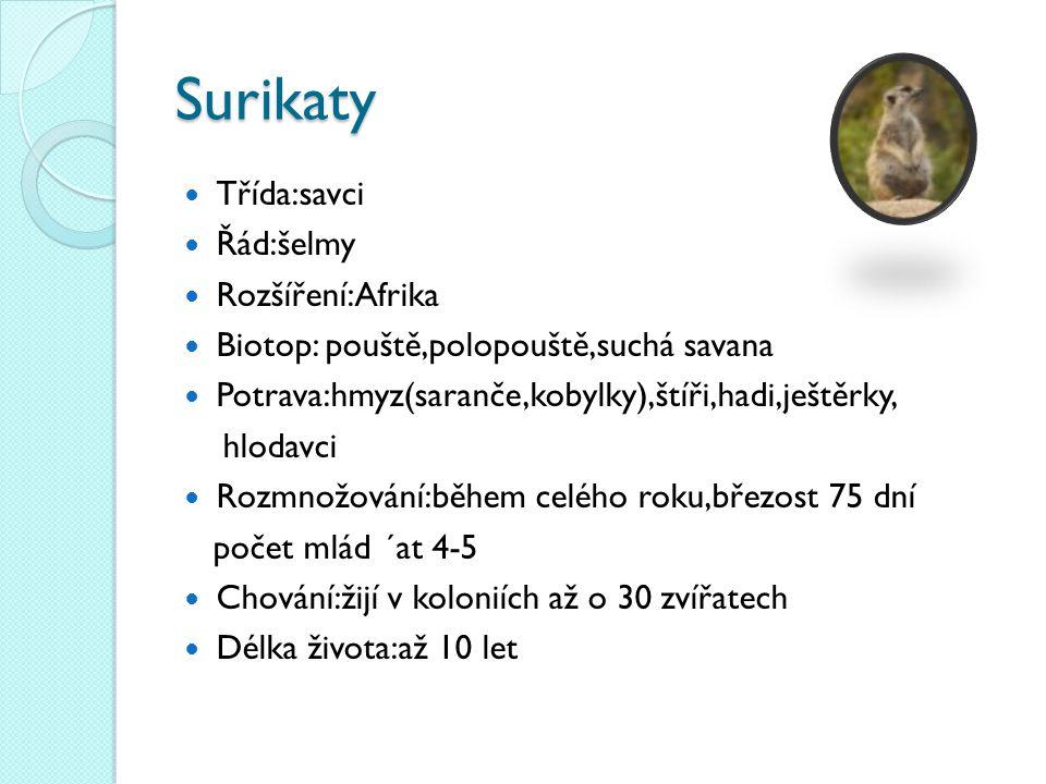 Surikaty Třída:savci Řád:šelmy Rozšíření:Afrika