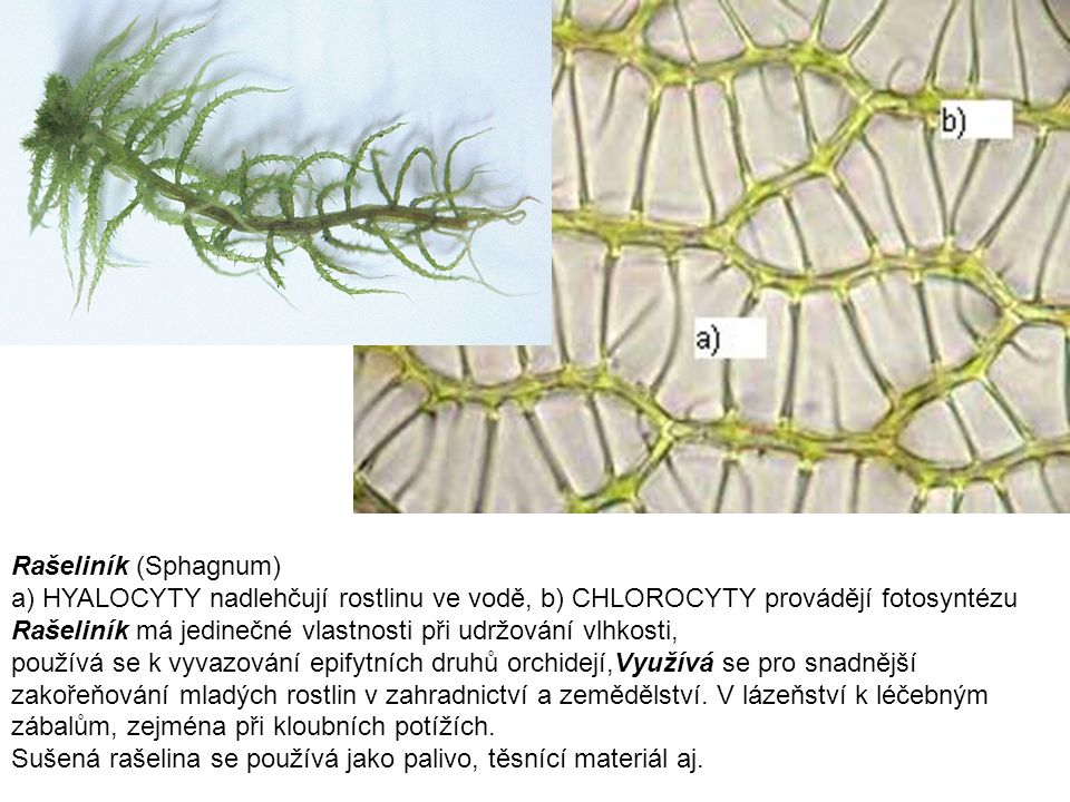 Rašeliník (Sphagnum) a) HYALOCYTY nadlehčují rostlinu ve vodě, b) CHLOROCYTY provádějí fotosyntézu.