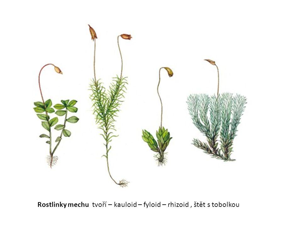 Rostlinky mechu tvoří – kauloid – fyloid – rhizoid , štět s tobolkou
