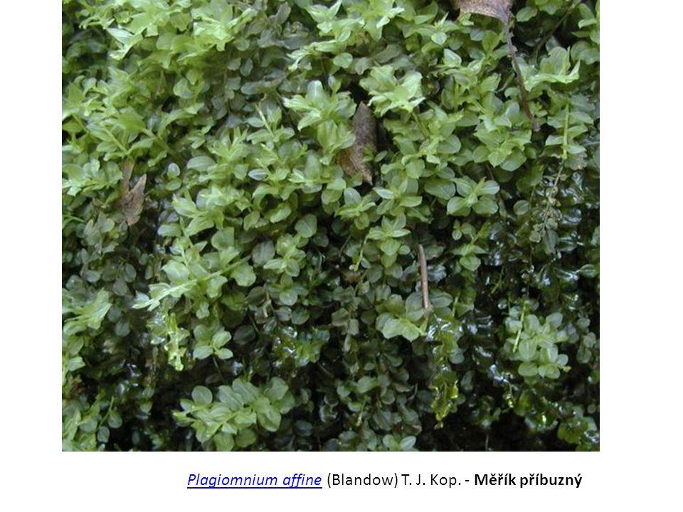 Plagiomnium affine (Blandow) T. J. Kop. - Měřík příbuzný