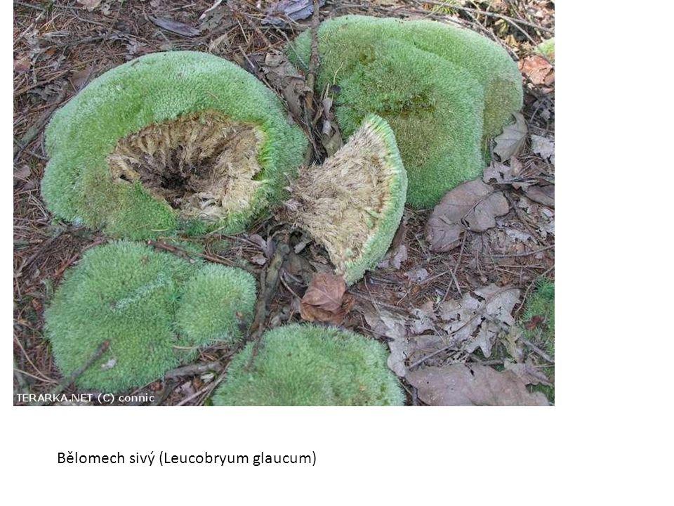 Bělomech sivý (Leucobryum glaucum)
