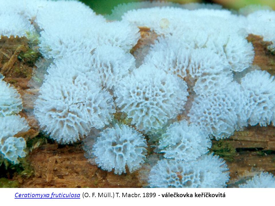 Ceratiomyxa fruticulosa (O. F. Müll. ) T. Macbr