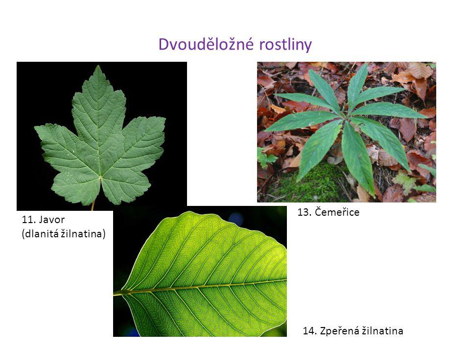 Dvouděložné rostliny 13. Čemeřice 11. Javor (dlanitá žilnatina)