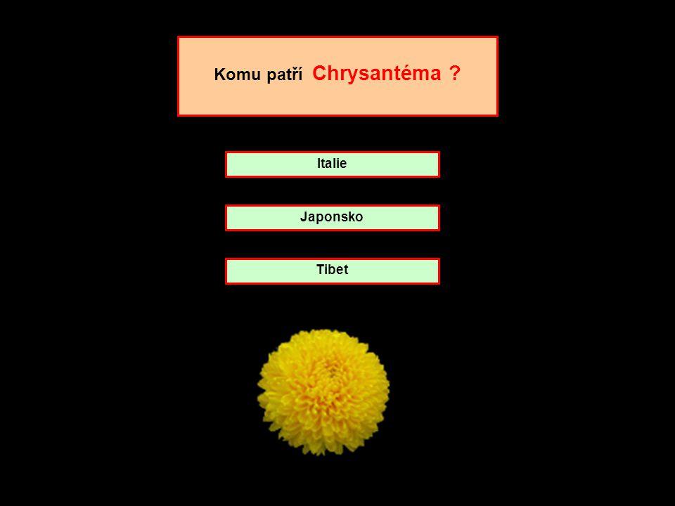 Komu patří Chrysantéma