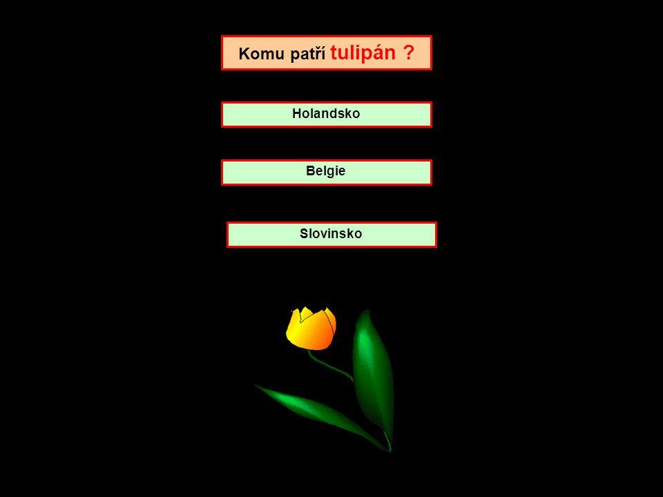 Komu patří tulipán Holandsko Belgie Slovinsko