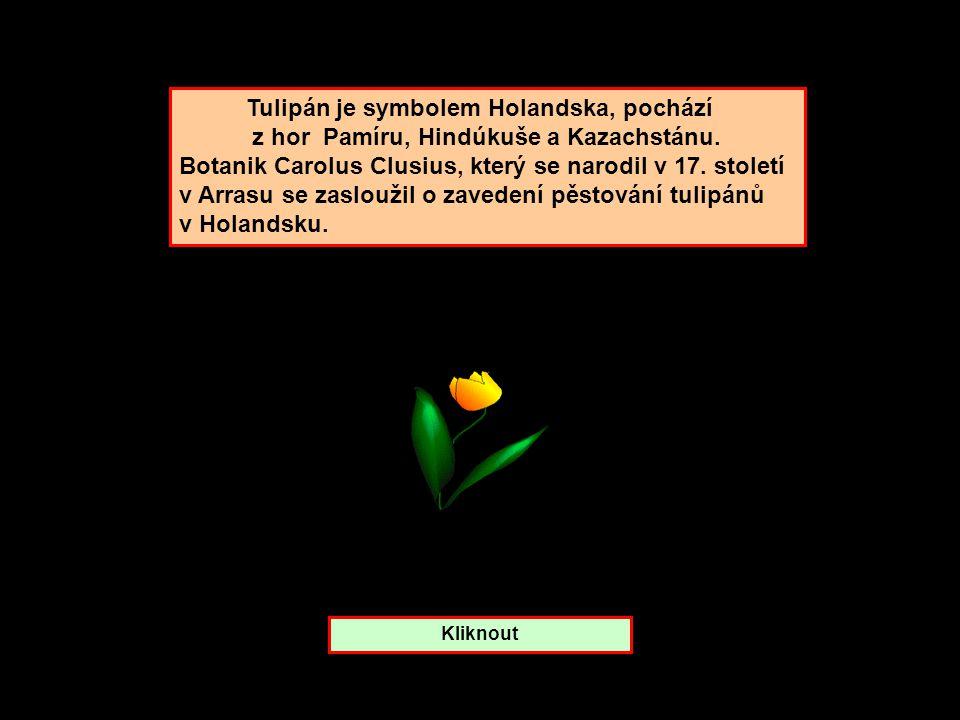 Tulipán je symbolem Holandska, pochází