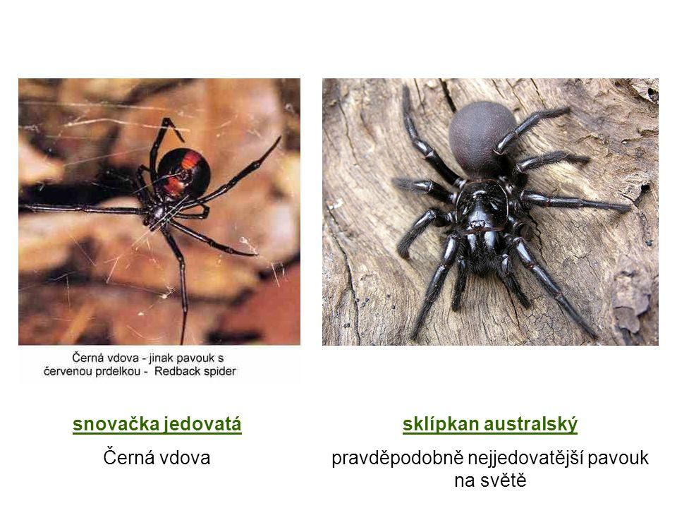 pravděpodobně nejjedovatější pavouk na světě