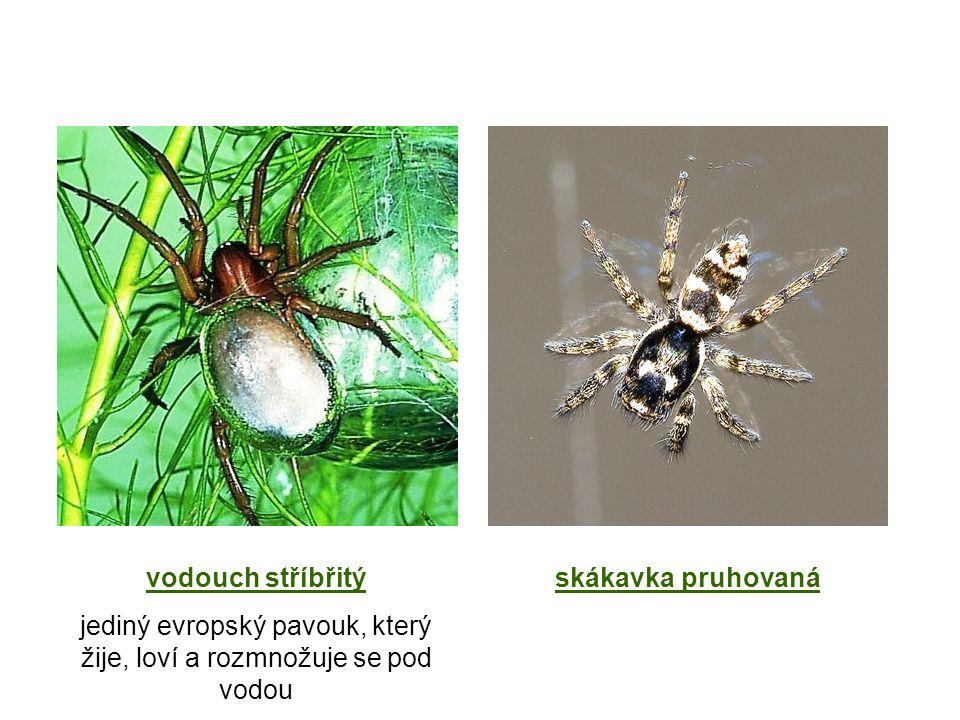 jediný evropský pavouk, který žije, loví a rozmnožuje se pod vodou