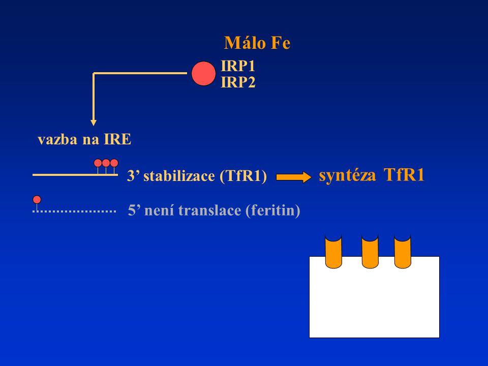 Málo Fe syntéza TfR1 IRP1 IRP2 vazba na IRE 3' stabilizace (TfR1)