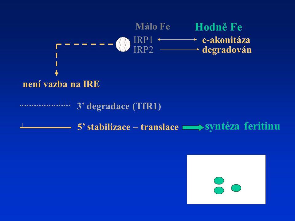 Hodně Fe syntéza feritinu Málo Fe IRP1 c-akonitáza IRP2 degradován