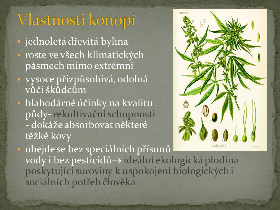 Vlastnosti konopí jednoletá dřevitá bylina