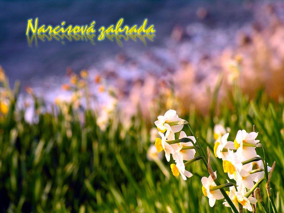 Narcisová zahrada